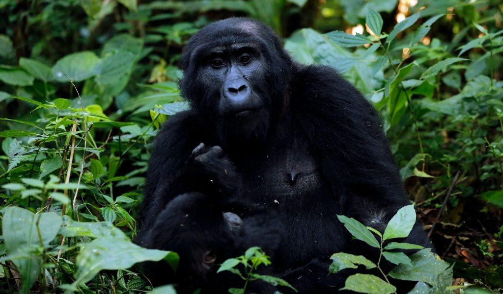 Image of Gorilla in the rainforests of Uganada.
